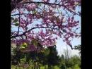Багрянник красивыецветы Варна Болгария blumen flauers Frühling Spring Varna Bulgaria