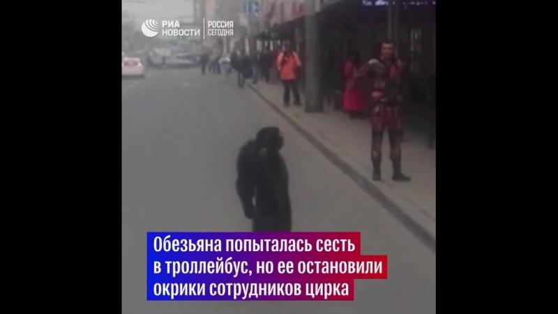 Из гастролирующего цирка в Краснодаре сбежал шимпанзе Ричард