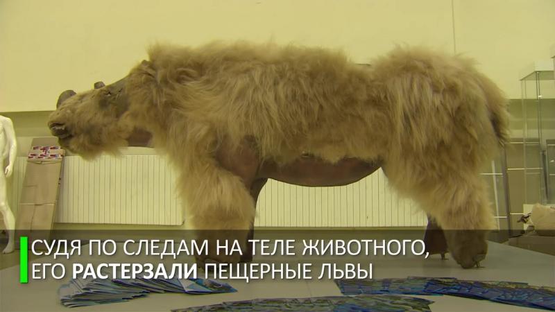 Шерстистого носорога показали на выставке в Москве
