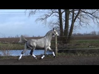 10 yo gelding for sale