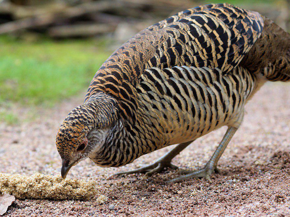 Студенты и преподаватели вуза в САО завели на своей базе фазанов