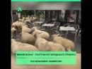 Нашествие овц АКУЛА