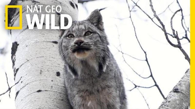 Две рыси кричат друг на друга - вы сможете это выдержать?   Nat Geo Wild