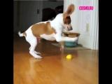 Пес и лимон