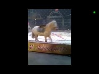 Тигр и лев напали на лошадь в китайском цирке.mp4
