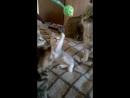 Шотландские котята 8