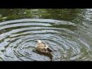 MVI_8554 Пёстрая чайка в пруду Лопухинского сада