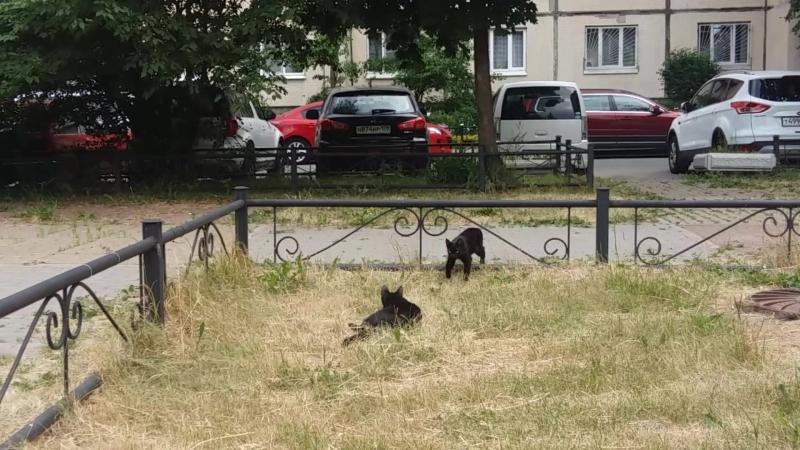 Просто черные котики играются так мило, что причем здесь приметы))
