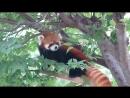 Веселые красные малые панды. Red Panda.mp4