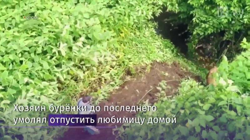 Корову Пенку казнили за пересечение границы Болгарии и Сербии