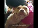 У этой собаки породы пит-буль лучшая улыбка в мире