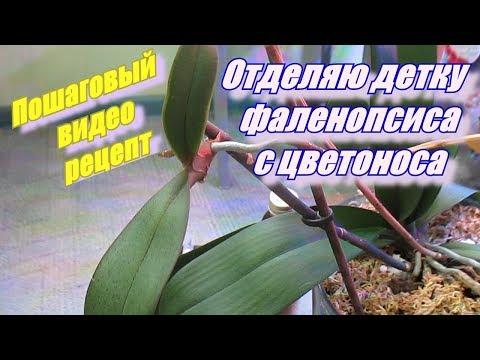 Как отделить детку орхидеи с цветоноса.