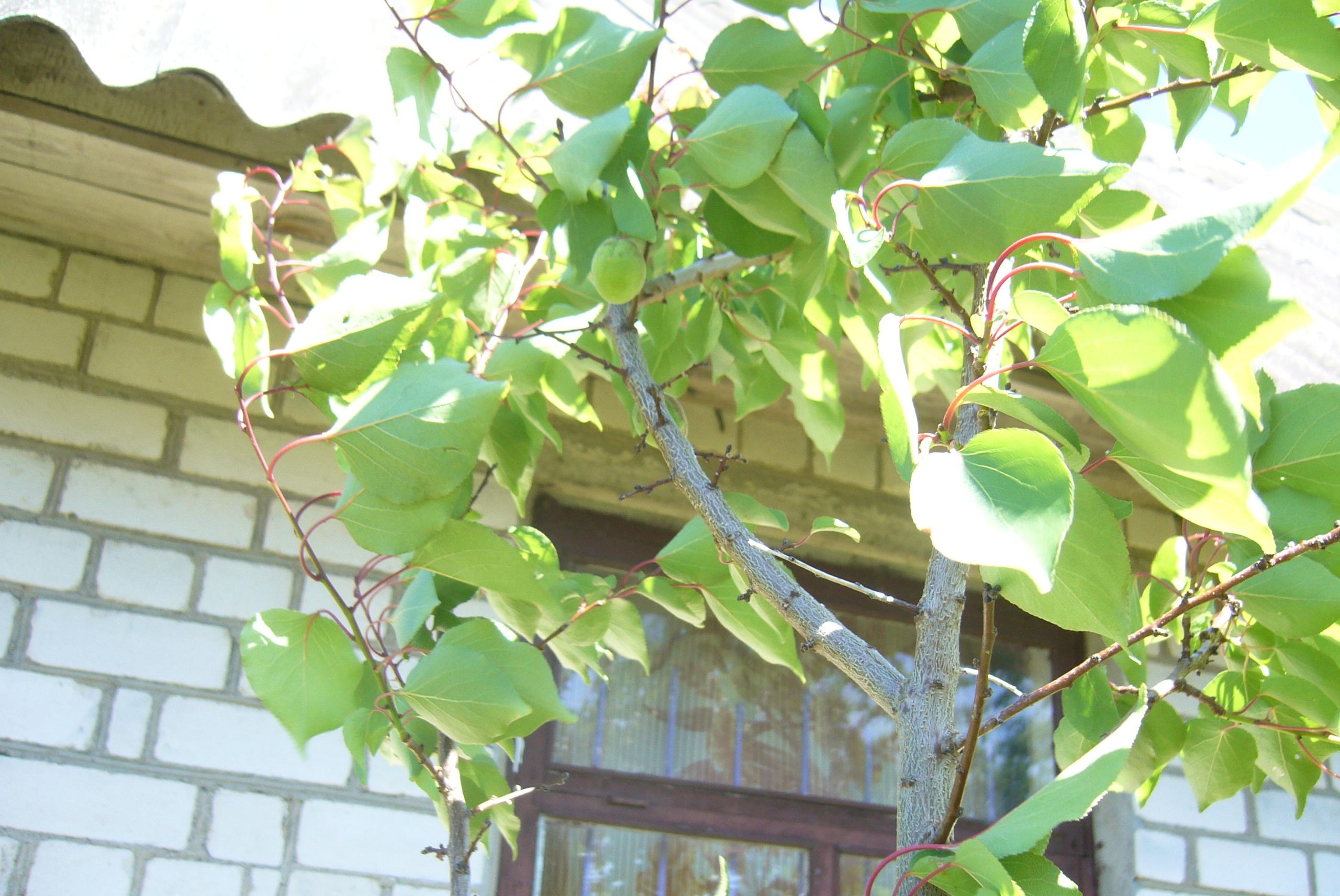 Белорусские абрикосы, какие они? урожай