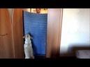 Неожиданно исчезновение хозяина Реакция собаки 23 07 2018 Labrador Jesse