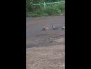 Борзой голубь