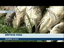 В реке Гуйва Житомирской области массово гибнет рыба