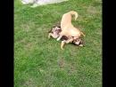 Собачьи бои. Делаем ставки