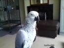 Когда попугаю не понравилось как ты его погладил / African Greys can mimic human speech near perfectly