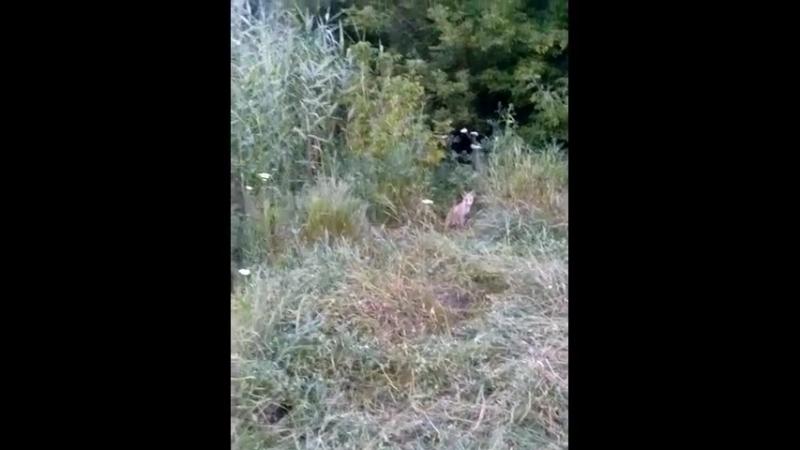 Дикі тварини випадково зняті на мобільний телефон лисичка, дятел (одуд)