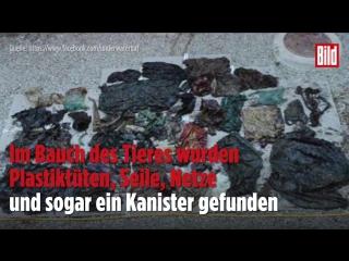 Wal stirbt an Plastikmüll- Das Ergebnis der verschmutzten Meere
