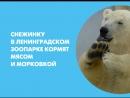 Медведицу Снежинку в Ленинградском зоопарке кормят мясом и морковкой