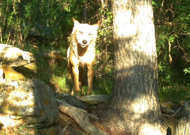 Какой ты волк сегодня?