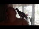 Наш птенец-выкормыш вяхиря (лесного голубя)
