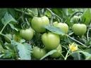 Во саду ли в огороде После Этой Подкормки Томаты Просто Усыпаны Плодами