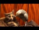 Наглый попугай и кот!