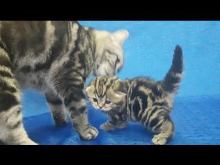 Шотландский котенок с мамой