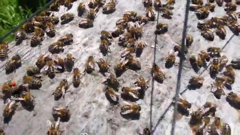 Танец пчелы
