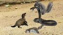 Toxic from King Cobra terrible - but the Squirrels are too crowded. Who is win?