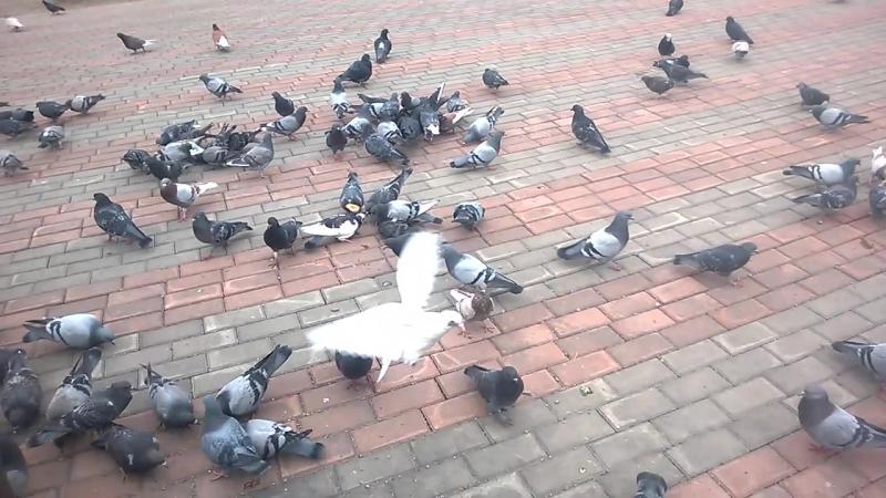 сын и средний брат кормят голубей