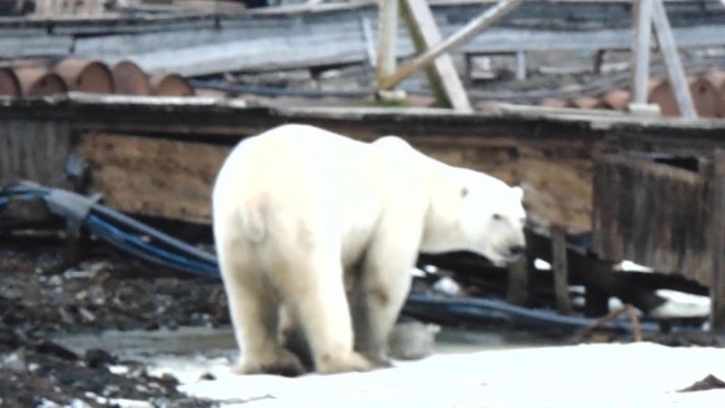 Белые медведи на мысе Челюскина