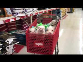 Шопинг со свинками и мопсом
