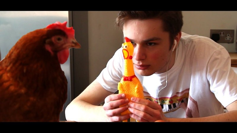 Serenading a real chicken with a rubber chicken