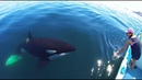 Unique Orca encounter in the Sea of de los Angeles Mexico