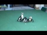 Смешные Пингвины Лучшее