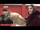 Chechen Wolf