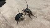Bugs Fight Club