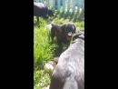 Лабра щеночки.