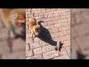 Крыса притворяясь мертвой пытается укатиться от поймавшего его кота К счастью для грызуна коту хотелось скорее поиграть чем