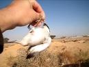 Сорокопут и чернохвостый скромный чекан