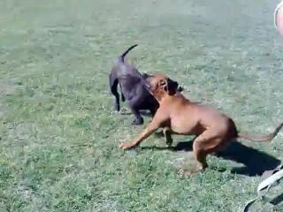 pit bul - zver