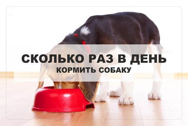 Сколько грамм корма давать щенку йорка