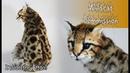 Ocelot Wildcat Commission Artdoll