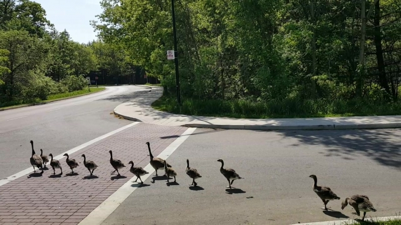 Geese with goslings cross the road at UTM - part 2