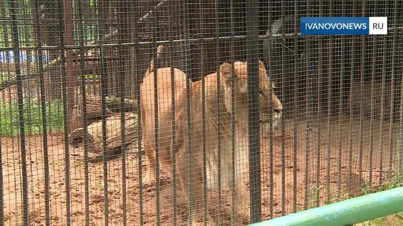 Новые вольеры для ивановских белых львов