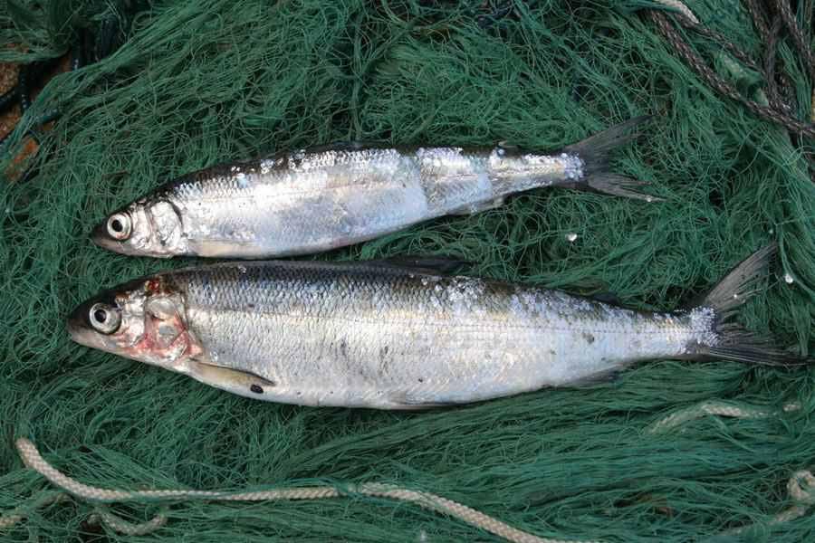 Рыбы ценных видов на 621 тыс. рублей выловили браконьеры в Томской области