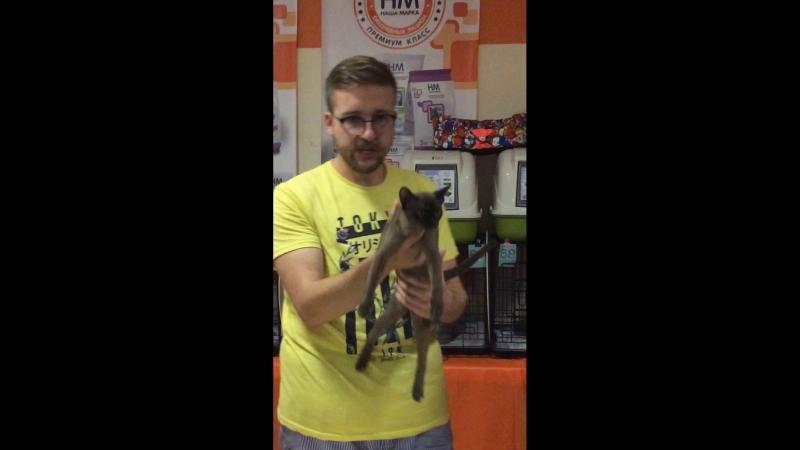 Юста Шоу короткошерстных кошек